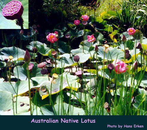 Lotus nelumbo nucifera australian native lotus mightylinksfo